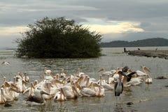 Pelícanos rosados en el lago Ziway en Etiopía fotografía de archivo libre de regalías