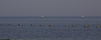 Pelícanos todos en fila en el SC de la isla de Seabrook Imagen de archivo