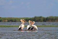 Pelícanos y cormoranes Foto de archivo libre de regalías