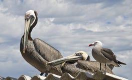 Pelícanos y gaviota en una azotea Imagen de archivo libre de regalías