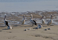 Pelícanos y gaviotas que se colocan y que se sientan en la playa en Australia Imagen de archivo