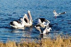 Pelícanos y gaviotas que se zambullen para los pescados Fotografía de archivo libre de regalías