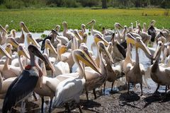 Pelícanos y Marabu Imagen de archivo libre de regalías