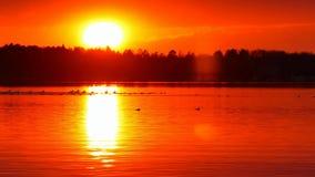 Pelícanos y nadada de los patos en un lago hermoso en la puesta del sol en Bemidji Minnesota metrajes