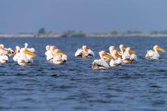 Pel?canos en el lago en del delta de Danubio, observaci?n de p?jaros de la fauna de Rumania fotografía de archivo libre de regalías