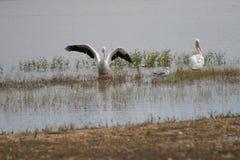 Pelacns na plaży jezioro zdjęcie royalty free