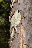 Peladura de la corteza de árbol Fotografía de archivo libre de regalías