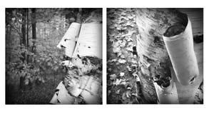 Peladura de la corteza de árbol de abedul blanco Fotos de archivo