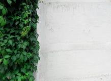 Peladura de la pared blanqueada y de la planta que sube verde fotos de archivo libres de regalías