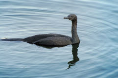 Pelagic cormorant Stock Photo