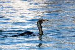 Pelagic Cormorant bird. Pelagic Cormorant hunting for food at BC Canada royalty free stock photos