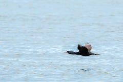 Pelagic cormorant flying over Pacific Ocean. Stock Image