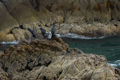 Pelagic cormorant nesting on the rocks in Pacific Ocean. Royalty Free Stock Photos