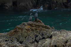 Pelagic cormorant nesting on the rocks in Pacific Ocean. Stock Images