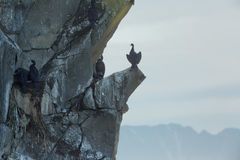 Pelagic cormorant nesting on the rocks in Pacific Ocean. Royalty Free Stock Images