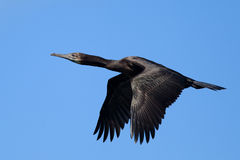 Pelagic Cormorant (Phalacrocorax pelagicus) in fli Stock Images