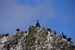 Pelagic cormorant Stock Images