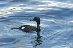 Pelagic Cormorant. A Pelagic Cormorant swimming in Yaquina Bay in Newport, Oregon stock images