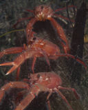 Pelagic Crabs. Pelagic or Tuna crabs can cover and ocean floor by the thousands stock images