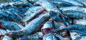 Pelagic fish. Caught and ready for processing Royalty Free Stock Images