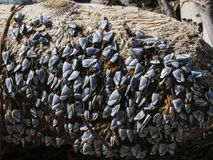 Pelagic Goose-Neck Barnacles Lepas anatifera. Clump of Pelagic Goose-Neck Barnacles washed up on a large driftwood log royalty free stock photo