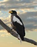 Pelagicus do Haliaeetus da águia de mar do ` s de Steller no fundo do por do sol Imagem de Stock Royalty Free