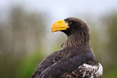 Pelagicus do Haliaeetus da águia de mar do ` s de Steller Fotos de Stock