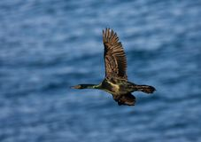Pelagische Aalscholver, Cormorant pelagico, Phalacrocorax pelagico fotografie stock libere da diritti