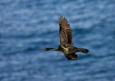Pelagische Aalscholver, Pelagic Cormorant, Phalacrocorax pelagic. Pelagische Aalscholver, Pelagic Cormorant royalty free stock photos