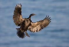 Pelagische Aalscholver, Pelagic Cormorant, Phalacrocorax pelagic. Pelagische Aalscholver tijdens landing; Pelagic Cormorant landing stock images