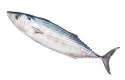 Pelamida που απομονώνεται στο λευκό Στοκ Εικόνες