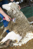 Pelar una oveja Foto de archivo