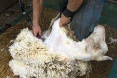 Pelar una oveja Imagen de archivo libre de regalías