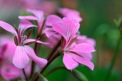 Pelarginium blommor med dagg Arkivfoton