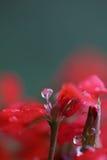Pelarginium Flowers with Dew Royalty Free Stock Image
