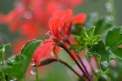 Pelarginium Flowers with Dew Stock Image