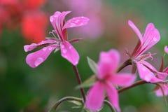 Pelarginium Flowers with Dew Royalty Free Stock Photo