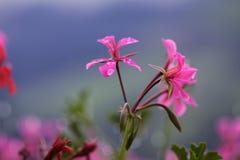 Pelarginium Flowers with Dew Stock Photos