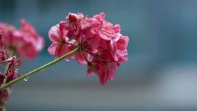 Pelargon blommar i blom under ett häftigt regn stock video