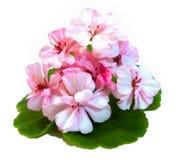 Pelargon blommar i formen av rosor som är nya på det gröna bladet, Royaltyfria Bilder