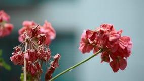 Pelargon blommar med regnwaterdrops under regnet arkivfilmer