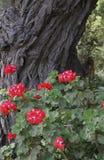 Pelargon blommar under en knotig trädstam Royaltyfri Bild