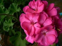 Pelargon för varma rosa färger Arkivfoto