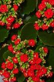 Pelargon i blom Arkivbilder