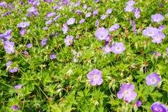 Pelargon Rozanne blommar i Voorschoten, Nederländerna royaltyfria foton