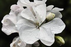 Pelargon - vårblomma Royaltyfria Bilder