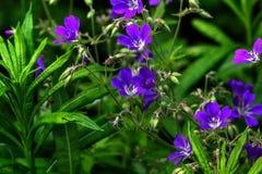pelargon wild blomma Fotografering för Bildbyråer