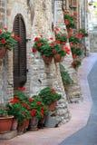 Pelargonen blommar i gator av Assisi, Umbria Arkivbild