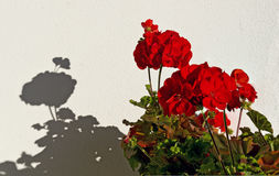 Pelargonia med röda blomningar Arkivfoto