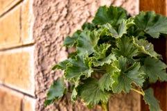 Pelargonia part sur le fond du mur sur un plan rapproch? de jour ensoleill? photographie stock